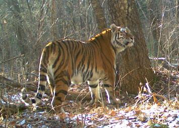 Приморские дети придумали имя тигрице